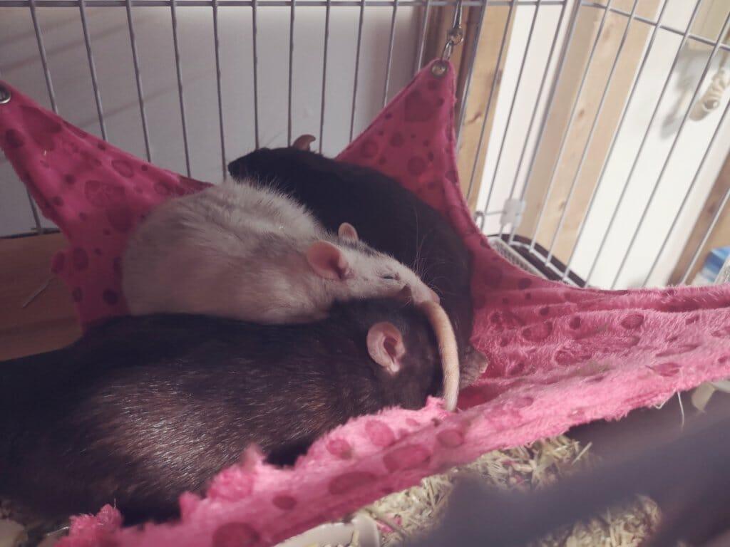 ハンモックで眠るファンシーラット